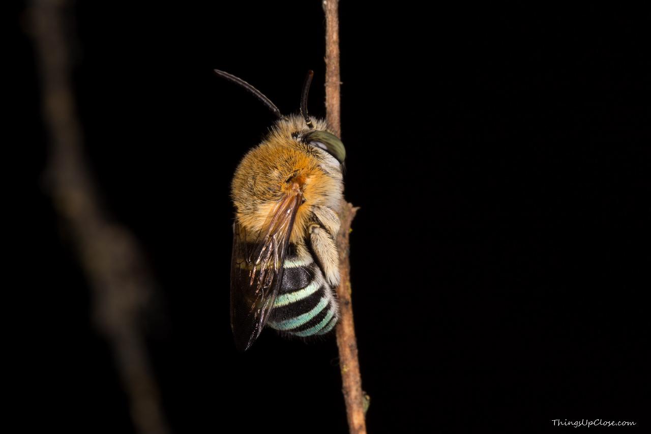 <b>Blue Banded Bee</b> <i>(Amegilla)</i>