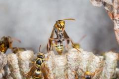 <b>Paper Wasp (Polistes variabilis)</b>