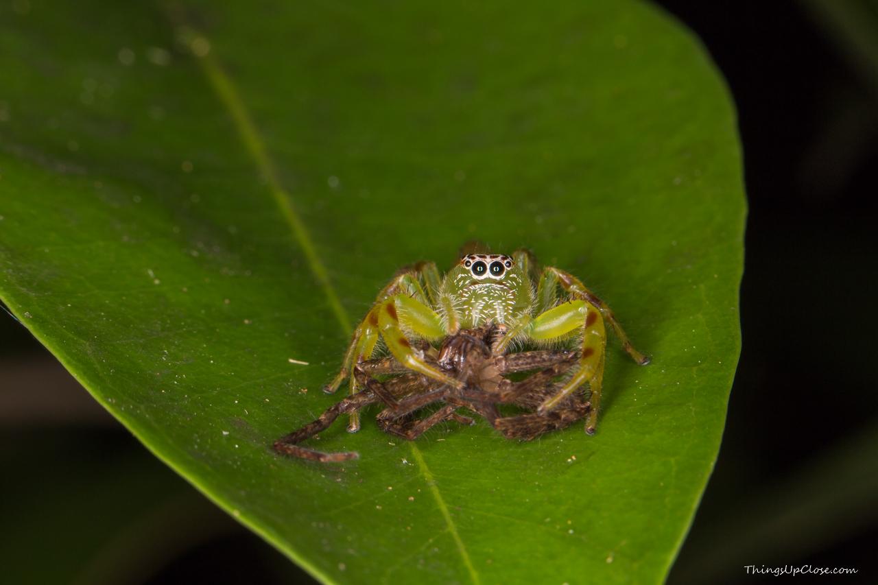 <b>Female green jumping spider</b>