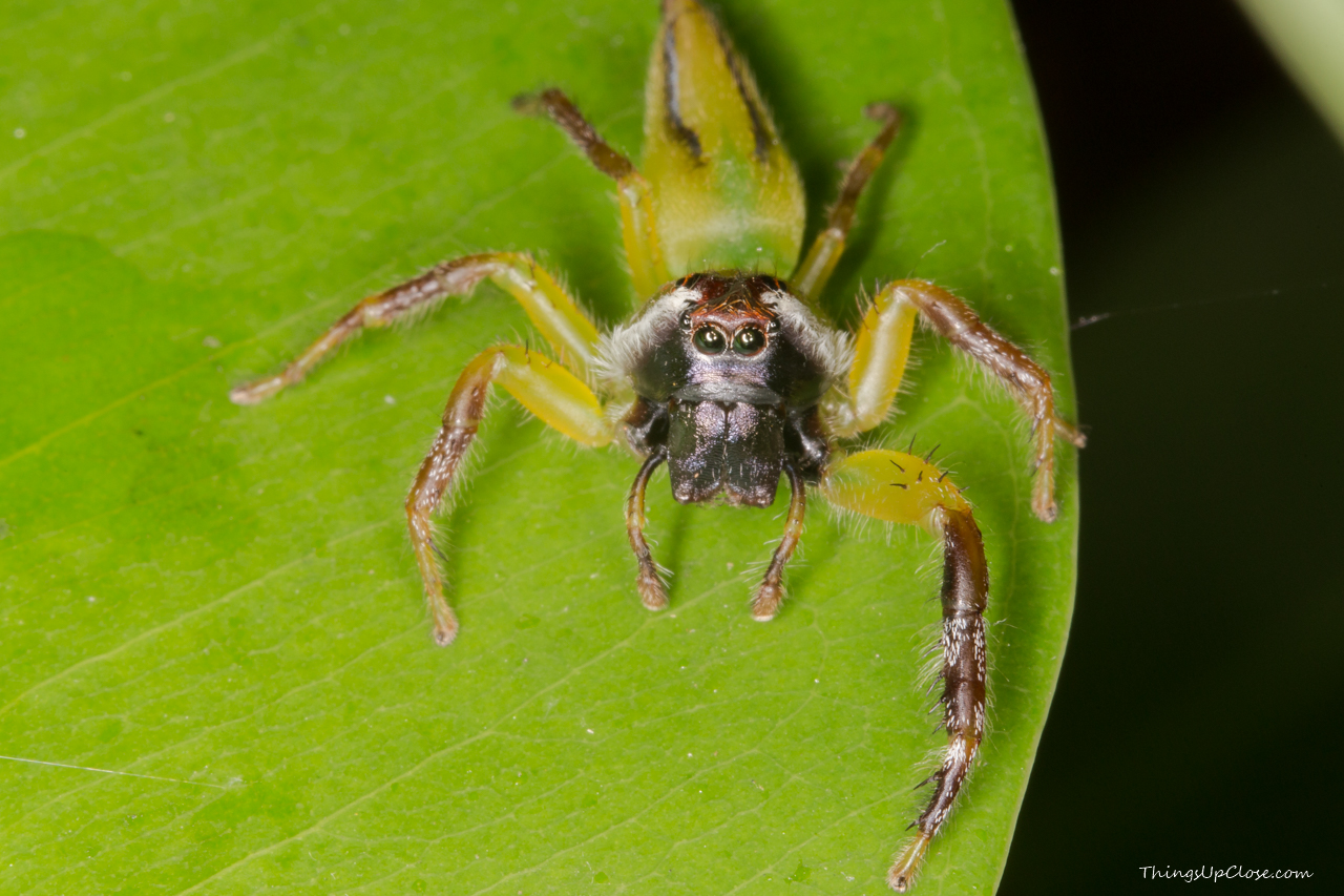 <b>Male green jumping spider</b>