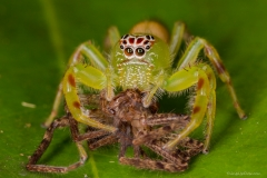 <b>Female green jumping spider</b>