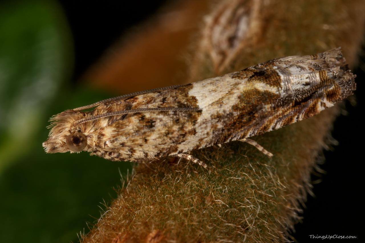 Cotton tip worm moth