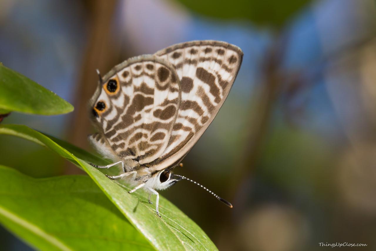 <b>Zebra Blue Butterfly</b> <i>(Leptotes plinius)</i>