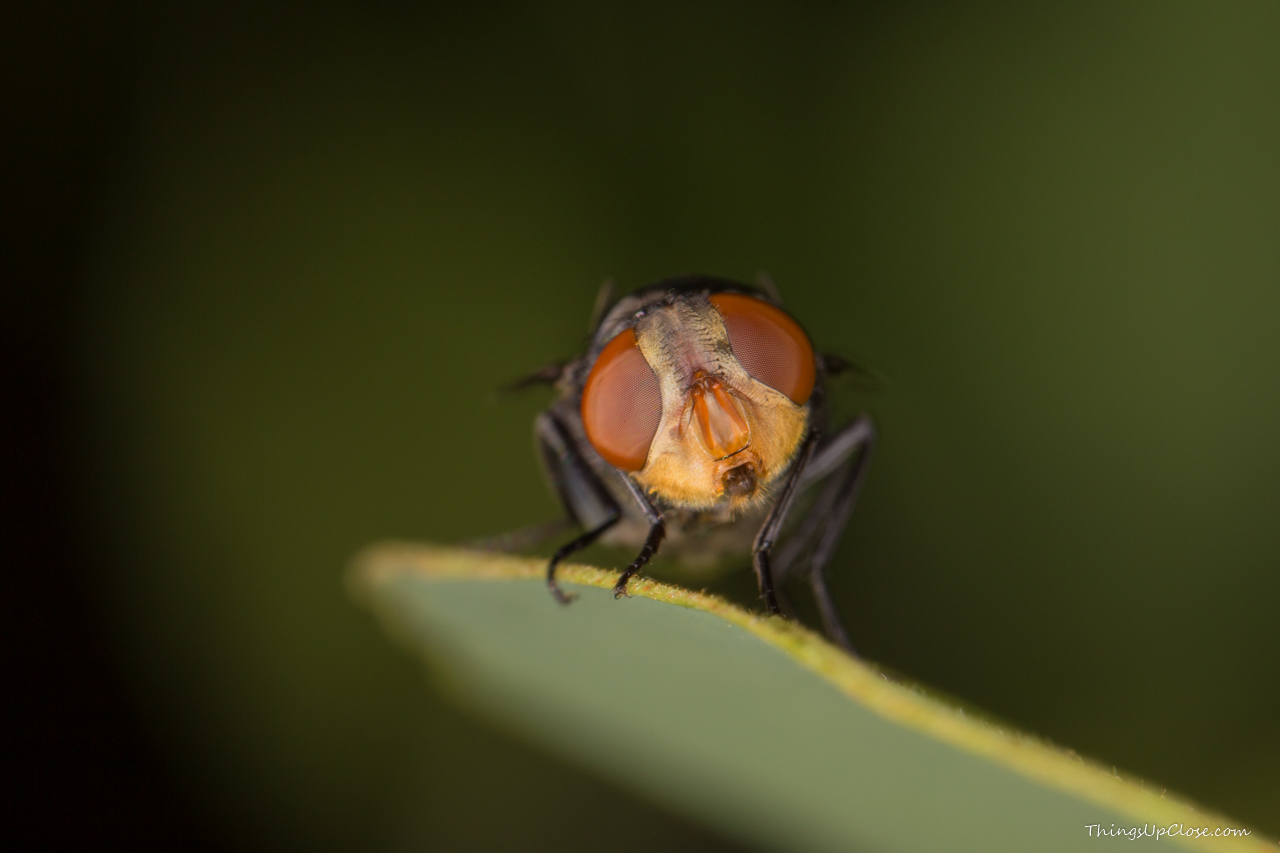 Fly looking into camera