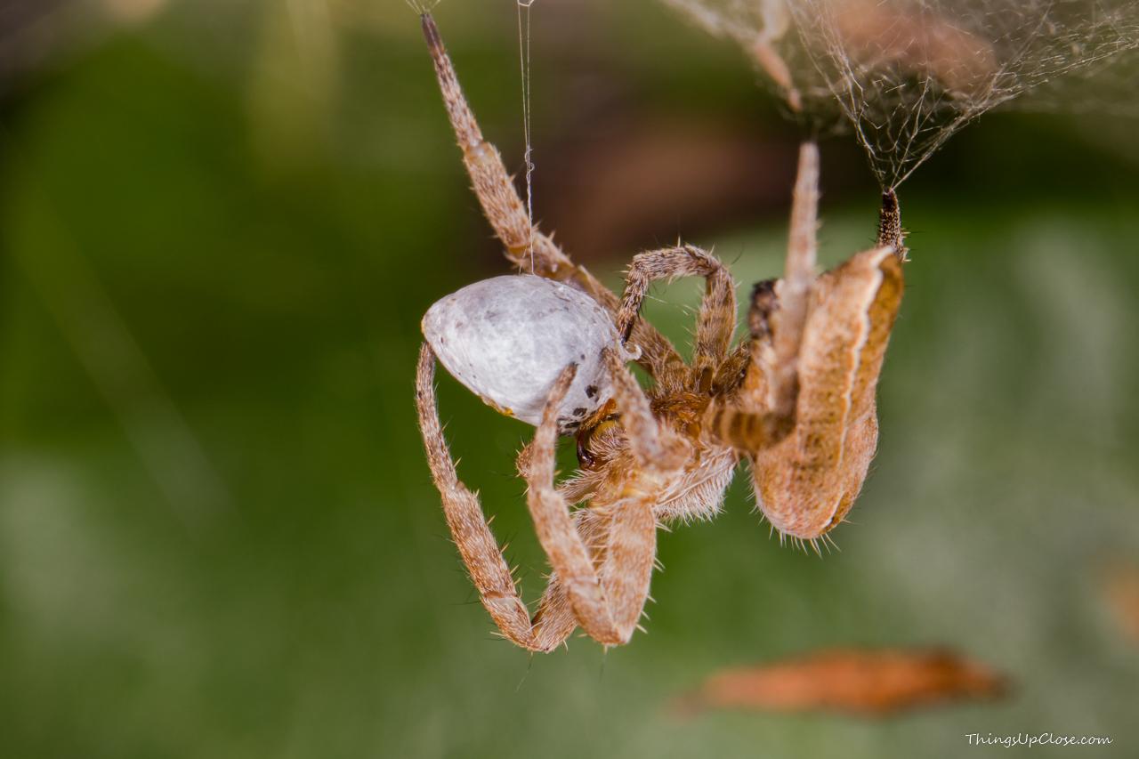 Spider - species unknown