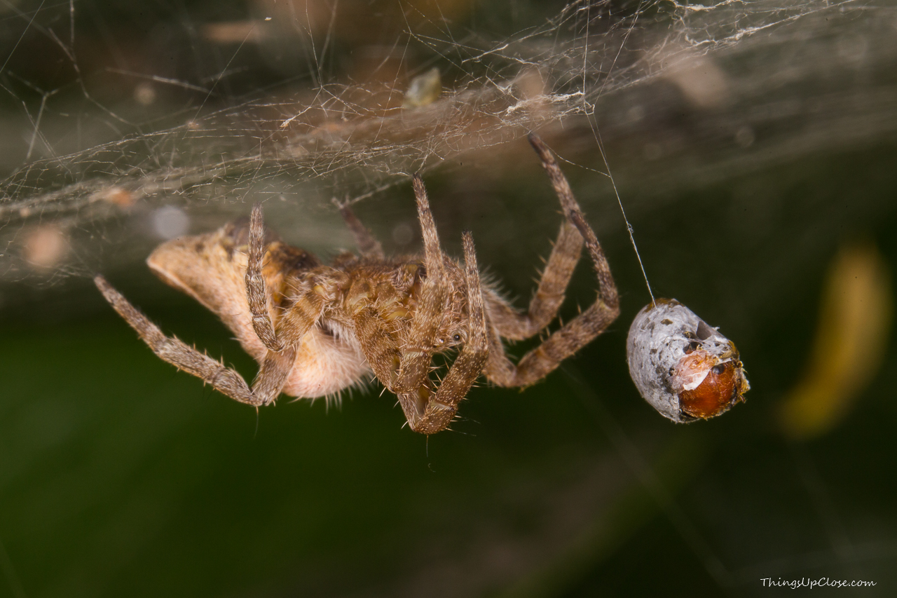 Spider with prey [1280 x 853] [OC] [OS]