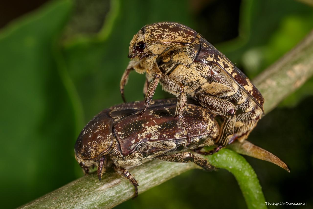 Mating mango flower scarab beetles