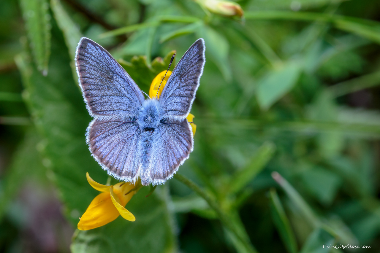 Mazarine Blue Butterfly (Polyommatus semiargus)