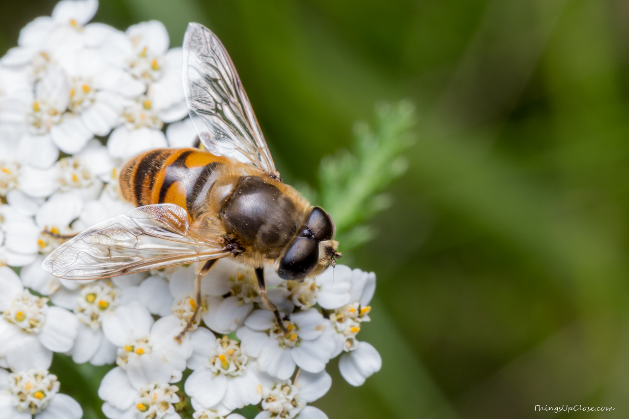 Hoverfly - Flower fly [1280 x 853] [OS] [OC]