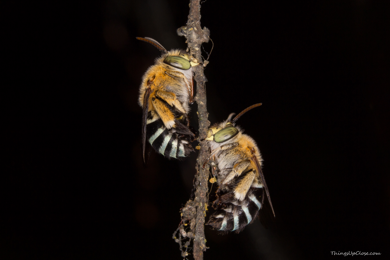 Blue banded bees [1280 x 853] [OC] [OS]