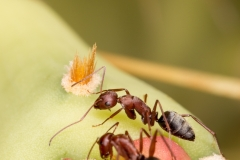 Ants on a cactus