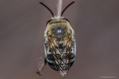 Blue Banded Bee (Amegilla)