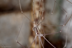 Daddy long legs spider shedding skin....