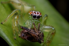 Female mopsus mormon spider