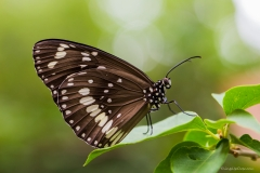 Common Crow Butterfly (Euploea Core)