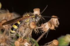 Yellow Hairy Flower Wasp (Campsomeris tasmaniesis)
