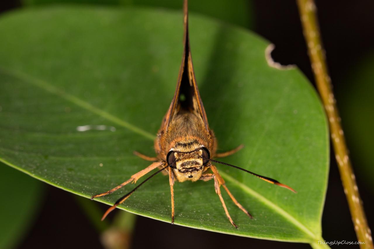 Symmomus Skipper Butterfly (Trapezites symmomus)