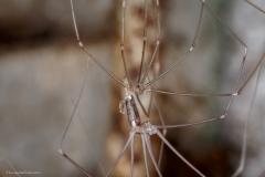 Daddy long legs spider shedding skin....