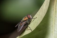 Green bottle fly (Phaenicia sericata)
