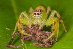 Green Jumping Spider (Mopsus mormon)