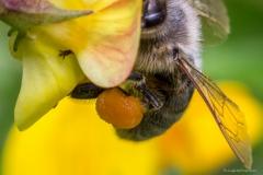 Honey bee pollen basket (crop)
