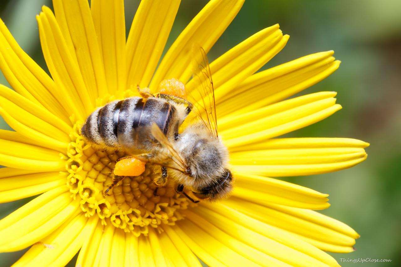 Honey bee pollen baskets