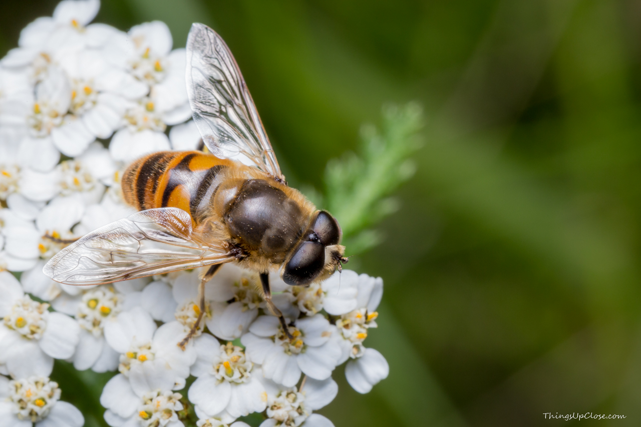 Hoverfly being a bee