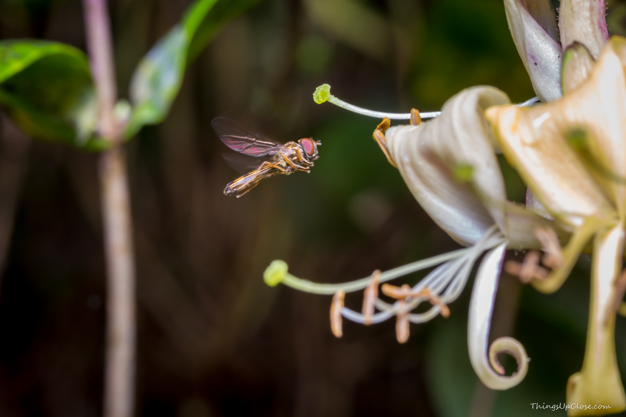 Hoverfly hovering