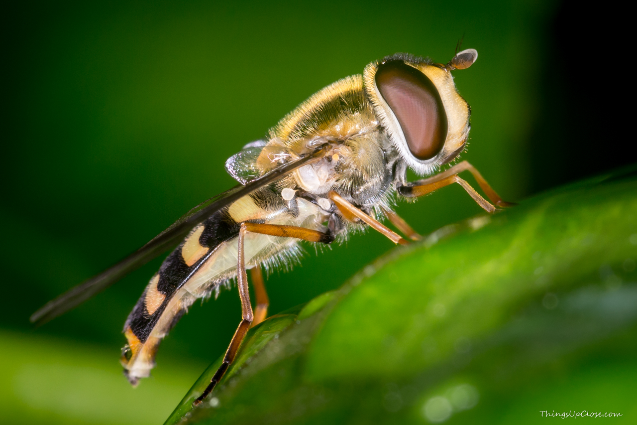 Hoverfly side view
