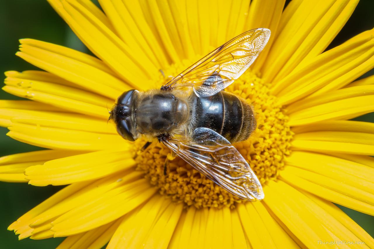 Hoverfly - A honeybee mimic