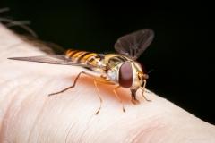 Hoverfly tasting my finger