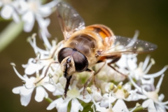 Hoverfly face