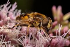Hoverfly or honeybee?