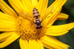 Hoverfly pretending to be a wasp