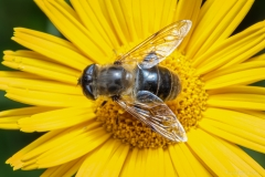Hoverfly - A honeybee mimic