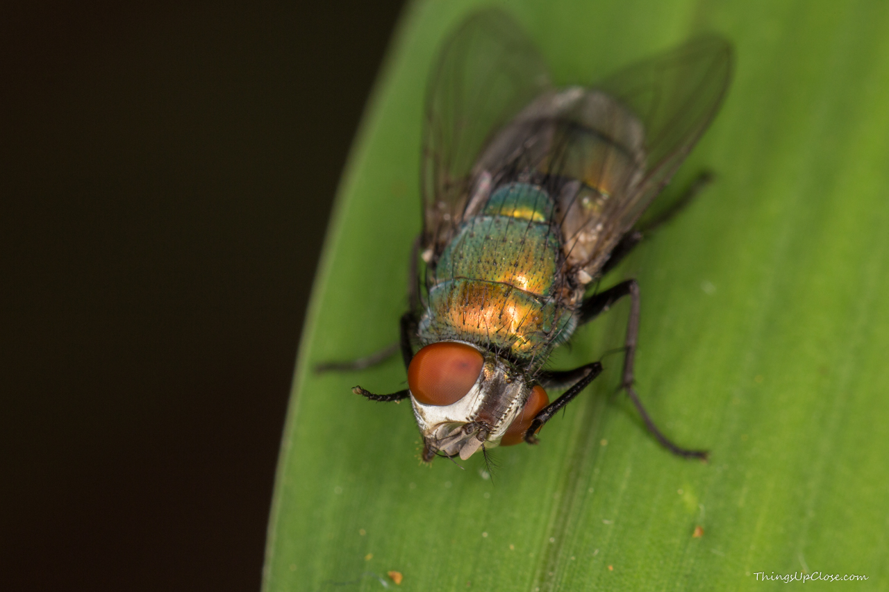A common green bottle fly scratching eyes