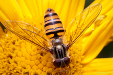 Macro photo of hoverfly on yellow flower