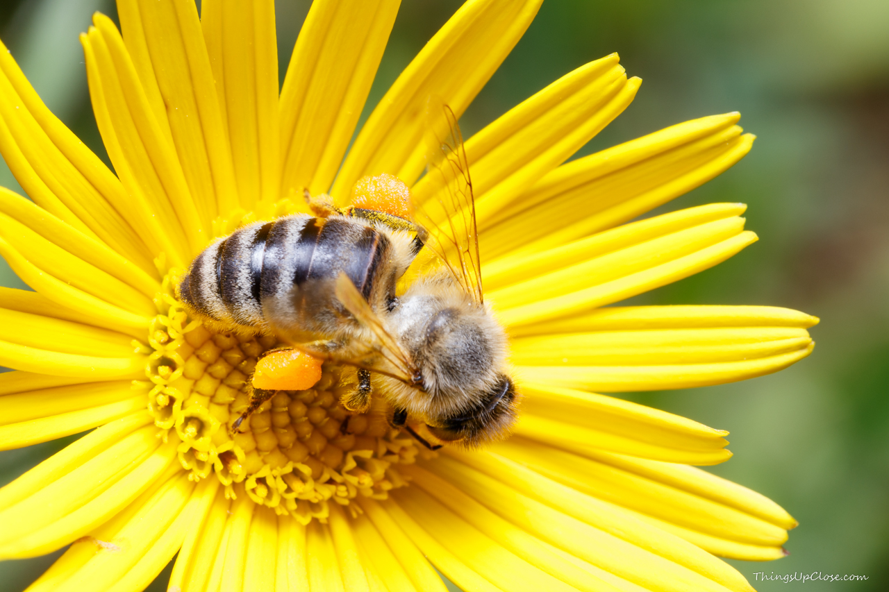 Honey bee in yellow flower with full pollen baskets