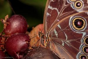 Butterfly-eating-fruit-300x200.jpg