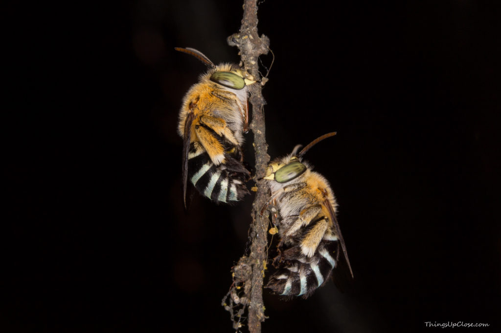 Two-Blue-Banded-Bees-1024x682.jpg